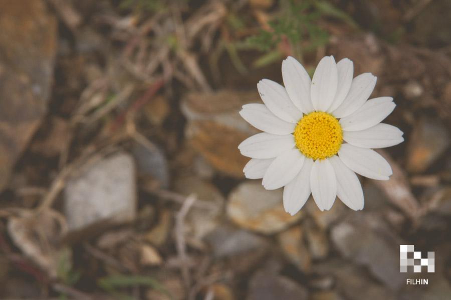 Daisy | FILHIN