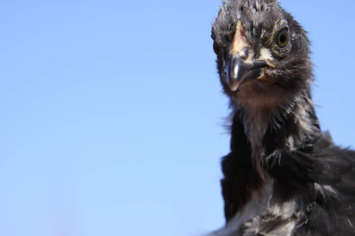<br /><br />   El pollo negro<br /><br />